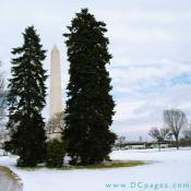Between two large spruce trees stands the Washington Monument located at the west end of the National Mall in Washington, D.C.