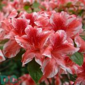 The 'Ben Morrison' azalea is named after Former U.S. National Arboretum Director Benjamin Y. Morrison