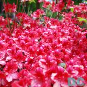 This 'Coquette' azalea explodes with color.