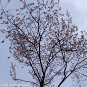 Tuesday, 10:45 am EST, March 18, 2008, First Cherry Blossom tree in bloom.