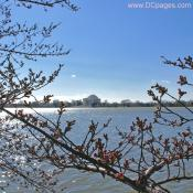 Thursday, March 20, 2008 10:00 am EST, Cherry Blossom View of Jefferson Memorial