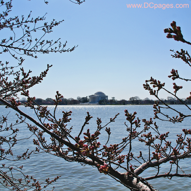 Friday, March 21, 2008 10:35 am EST, Cherry Blossom View of Jefferson Memorial