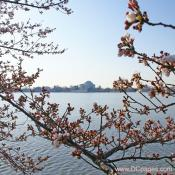 Tuesday, March 25, 2008 9:10 am EST, Cherry Blossom View of the Jefferson Memorial.