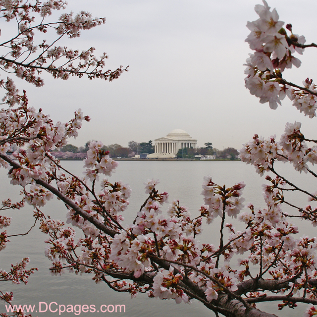 Thursday, March 27, 2008 10:15 am EST, Cherry Blossom View of the Jefferson Memorial.