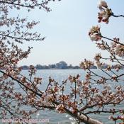 Wednesday, March 26, 2008 9:25 am EST, Cherry Blossom View of the Jefferson Memorial.