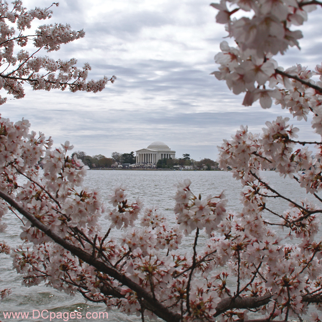 Sunday, March 30, 2008 10:57 am EST, Cherry Blossom View of the Jefferson Memorial