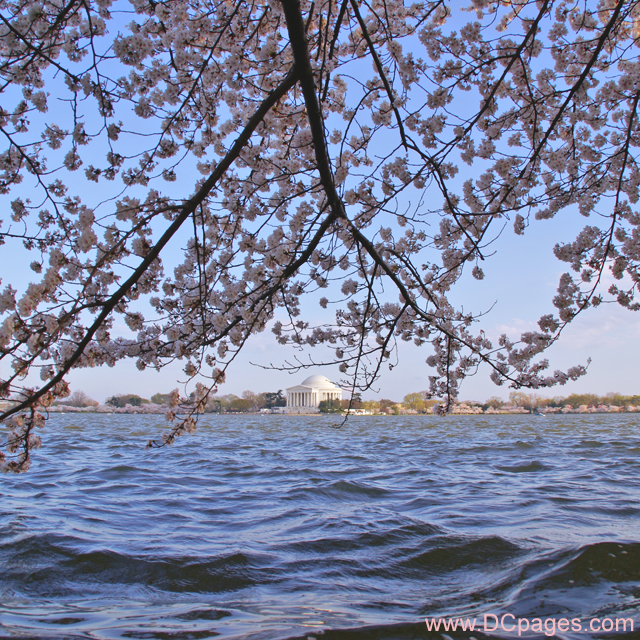 Tuesday, April 1, 2008 5:11 pm EST, Cherry Blossom View of the Jefferson Memorial