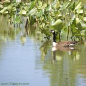 Goose swimming in Kenilworth Aquatic Garden Pond