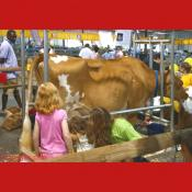 Children Learn How to Milk a Cow