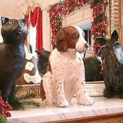 These are the current White House pets, Spot Fetcher, Barney, and India.  Spot Fetcher is the offspring of Millie (Barbara Bush's companion). Spot is the only pet to live in the White House for two administrations