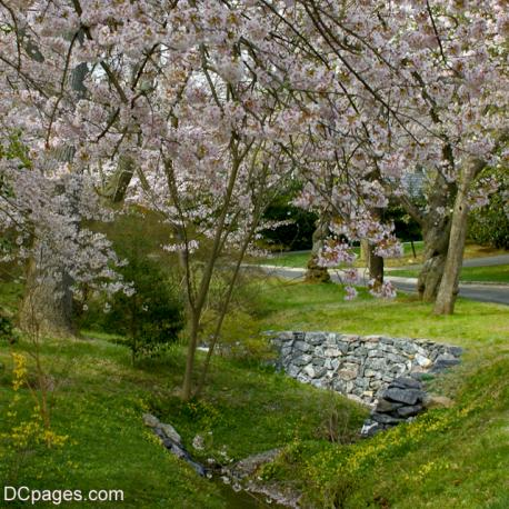 Cherry Blossoms: Kenwood, Maryland