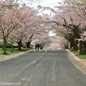 Taking a stroll amongst the Kenwood Cherry Blossoms