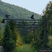Crows, on a high perch, fly away in Virginia
