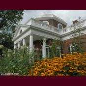 Black-eyed susans in Monticello