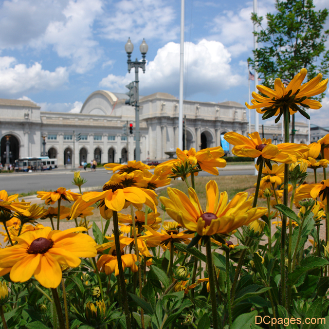 Black eyed Susans outside Union Station in NE DC