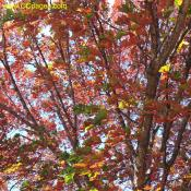 Fall leaves of a Northern Red Oak. Change for green to bright red.