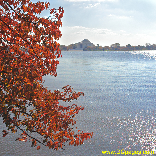 The Yoshino cherry tree leaves are ruby-red. Thomas Jefferson Memorial in background.