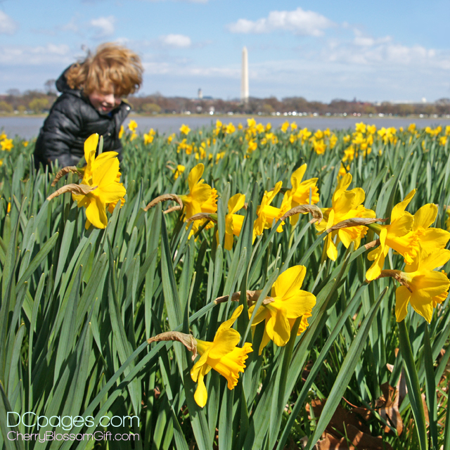 Admiring the Daffodils