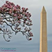 Cherry tree in repose with the Washington Monument.