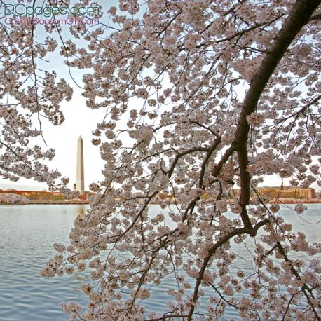 Cherry Blossom in Washington DC Peak Bloom