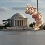 Cherry blossom cluster partially framing the Jefferson Memorial