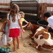 Children pet and soft and friendly baby dairy cow.