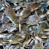 "Maryland Blue Crabs symbolize the Chesapeake Bay, America's largest estuary. Ask for heavy crabs. The blue tipped claws identify this batch of crabs as all male, known as a ""Jimmy"" to watermen."