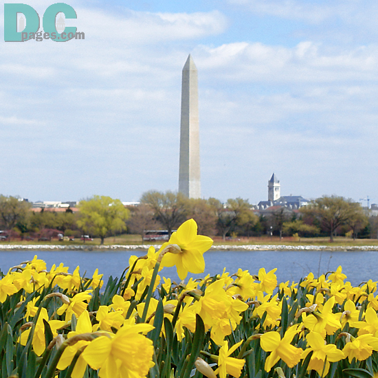 Daffodil flower view of the Potomac River and Washington Monument.