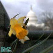 Artistic render of a Daffodil flower in front of the United States Capitol Building.