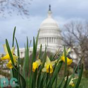 Daffodil flower view of the United States Capitol Building.
