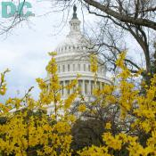 Forsythia flower view of the United States Capitol Building.