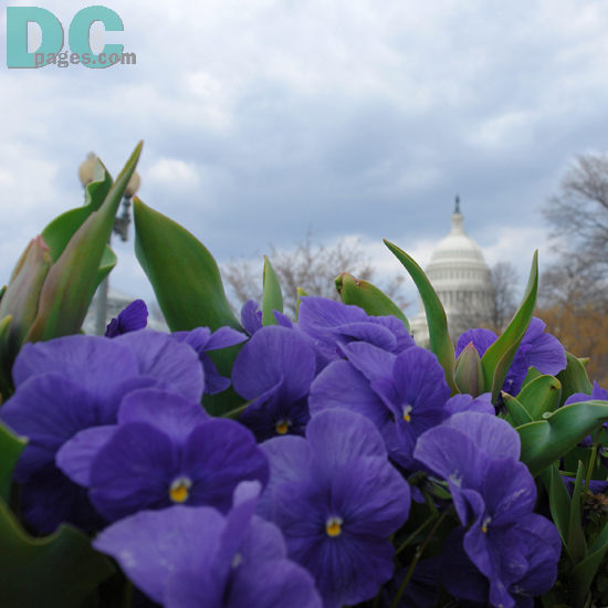 Pansy (Pansy Violet) flower view of the United States Capitol Building.