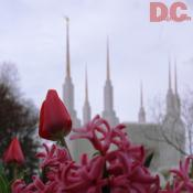 Tulip view of the Church of Jesus Christ of Latter-day Saints, Washington D.C. Temple.