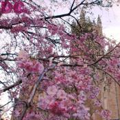 Cherry Blossom view of the National Cathedral.