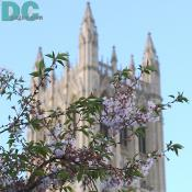 Cherry blossom view of the National Cathedral tower.