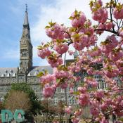 Cherry blossom view of the Georgetown University clocktower.