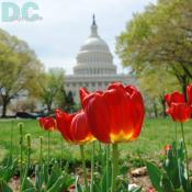 Fiery Tulip flower view of the U.S. Capitol Building in Washington DC.