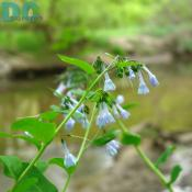 Baby blue wild flower in Rock Creek Park.