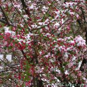 Snow covered Crab Apple blossoms.