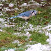 Blue Jay takes a look at me.