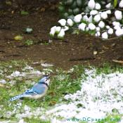 Blue Jay looks up at a snow covered holly branch.