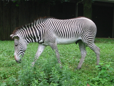 This  Zebra is fed herbivore pellets and grass.