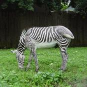 Grevy's zebras grow up to be nine feet long, weigh up to 990 pounds, and stand almost five and a half feet at the shoulder.