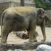 The National Zoo is home to 4 asian elephants.