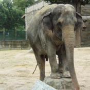 Asian elephants are strong, social, and intelligent.