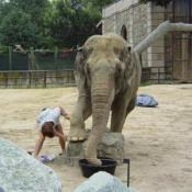 In the wild, everyday wear and tear keeps the Elephants' toenails short.  In the zoo, the trainers have to file them down.