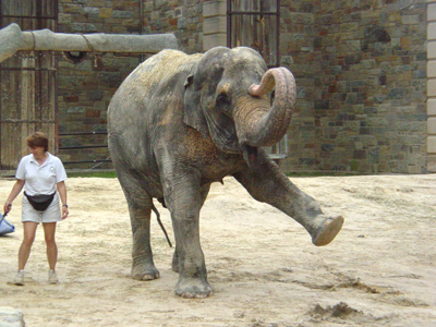At the National Zoo, keepers train the Asian elephants so as to provide them with physical and mental exercise.