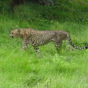 Currently the National Zoo has five cats living at the Cheetah Conservation Station: two males and three females.