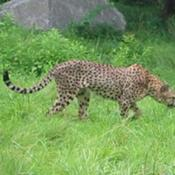 The National Zoo participates in the Species Survival Plan for cheetahs. At present, Zoo staff are trying to breed Wandu and Norok.