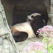 Since summer's in DC can get pretty hot, the Zoo has air conditions caves for the Pandas.